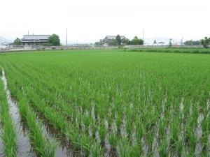 S160510西村さんの田んぼ