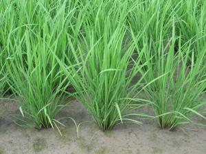 160601富家の寺川さんの稲