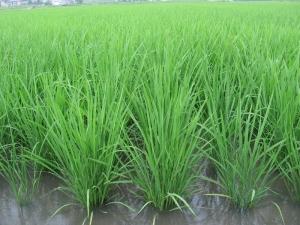 S160607富家の稲