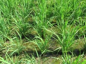 160602岩原さんの稲