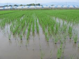 160601西岡さんの堆肥舎の横の田んぼ