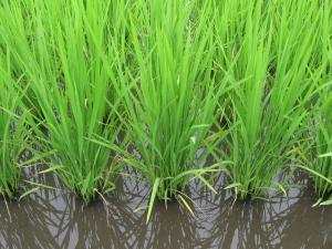 160601西村さんの稲