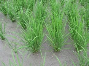 160601田村さんの稲