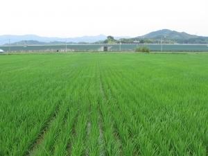160601村上さんの田んぼ