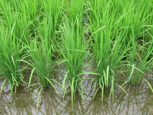 160601武市さんの南国そだちの稲