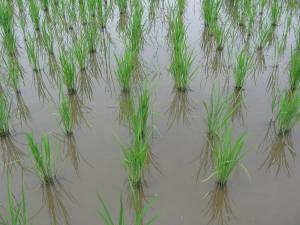 160601田島さんの稲