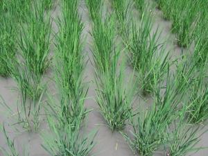 S160610田島さんの稲