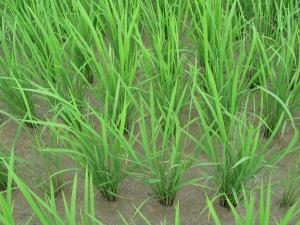 160601村上さんの稲