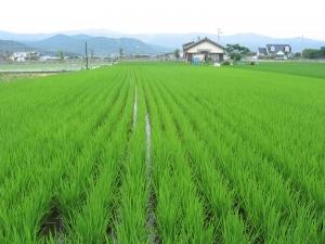 160601西村さんの田んぼ