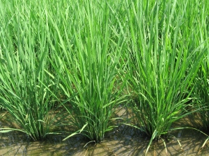 S160610富家の稲