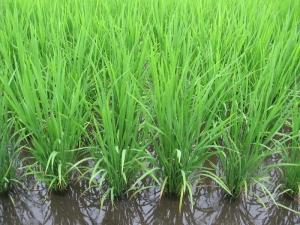 S160607西村さんの稲