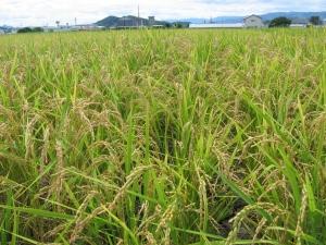 160715南国そだちの稲