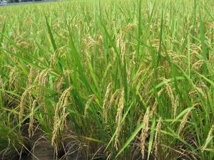 S160720西村さんの稲