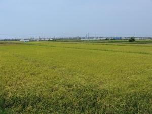 S160802村上さんの黄色くなった田んぼ1