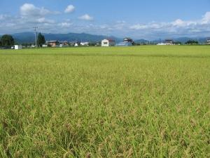 S160728西村コシの田んぼ1