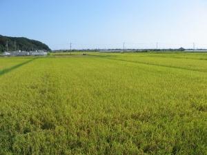 S160728村上コシの田んぼ1