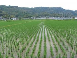 S170516寺川さんの田んぼ2