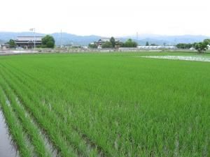 S170516西村さんのコシの田んぼ