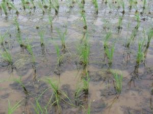 S170516藻が多いほうのまだ分けつ少ない村上コシ