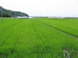 S170613村上コシの田んぼ