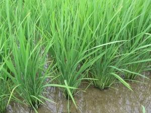 S170612公文さんの稲