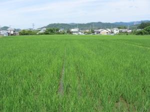 S170613金田コシの田んぼ