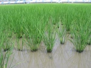 S170613西岡コシの稲