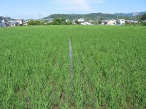 S170604金田さんの田んぼ1