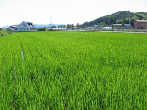 S170604西村コシの田んぼ1