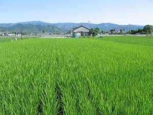S170604西村コシの田んぼ2