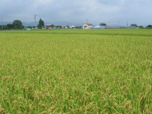 S170726西村コシの田んぼ