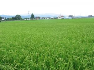 S170705西村コシの田んぼ