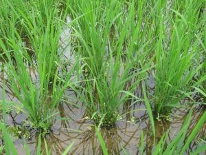 S170705式地さんの稲