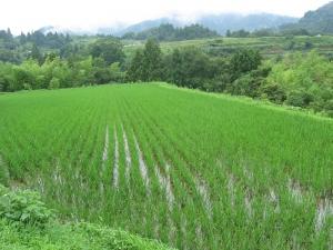 S170705式地さんの田んぼ