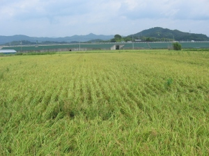 S170808村上コシの田んぼ1