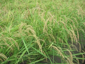 s170808金田コシの稲