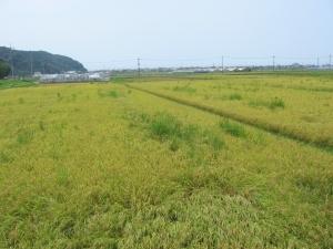 S170808村上コシの田んぼ2