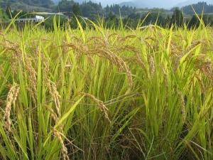 S171011登熟した式地さんの稲の穂
