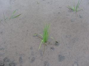 S180405田島さんの植えられた苗