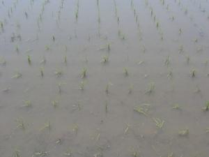 8S180515武市ミルキーの稲