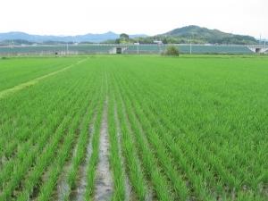 S180528村上コシの田んぼ
