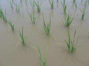 12S180515田島さんの稲