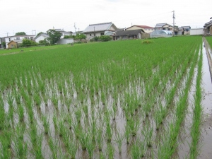 S180528田島コシの田んぼ