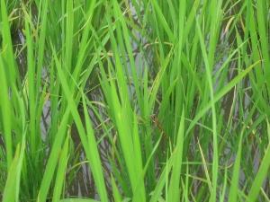 S180528西村コシの田んぼのトンボ1
