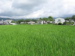 S180627すっかり緑になった田んぼ