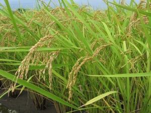 S180727西村コシの稲
