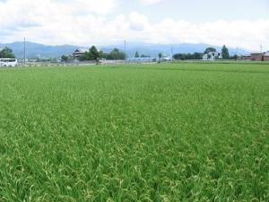 S180710西村コシの田んぼ