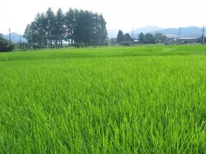 S180719島岡さんのヒノヒカリの田んぼ