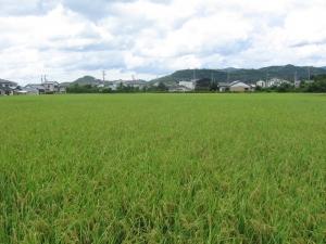 S180730金田コシの田んぼ