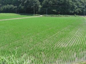 S180719浸かった岡井ヒノの田んぼ1